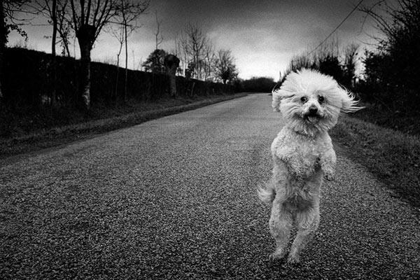photo Michel Vanden Eeckhoudt chien caniche debout sur ses pattes arrière